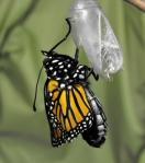 14. Butterfly emerge 4web