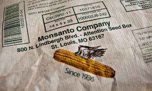 Monsanto GM or GMO maize